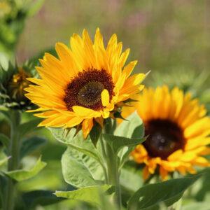 Zohar Organic Sunflower